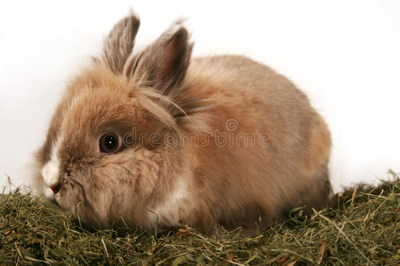 Dwarf rabbit. A cute dwarf rabbit in the grass stock photography