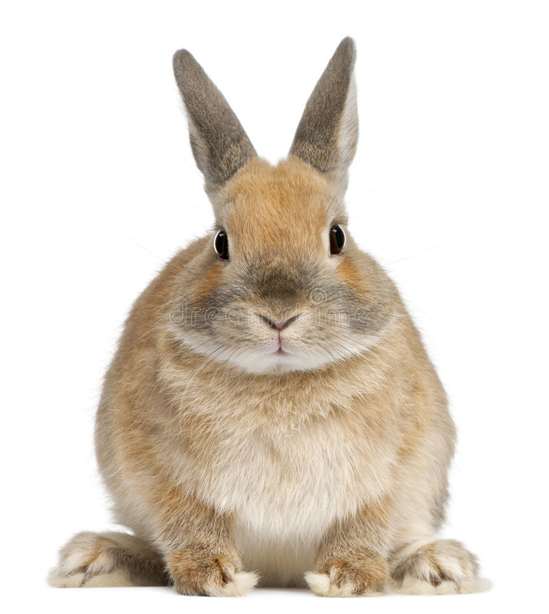 Dwarf rabbit, 6 months old. In front of white background royalty free stock photo