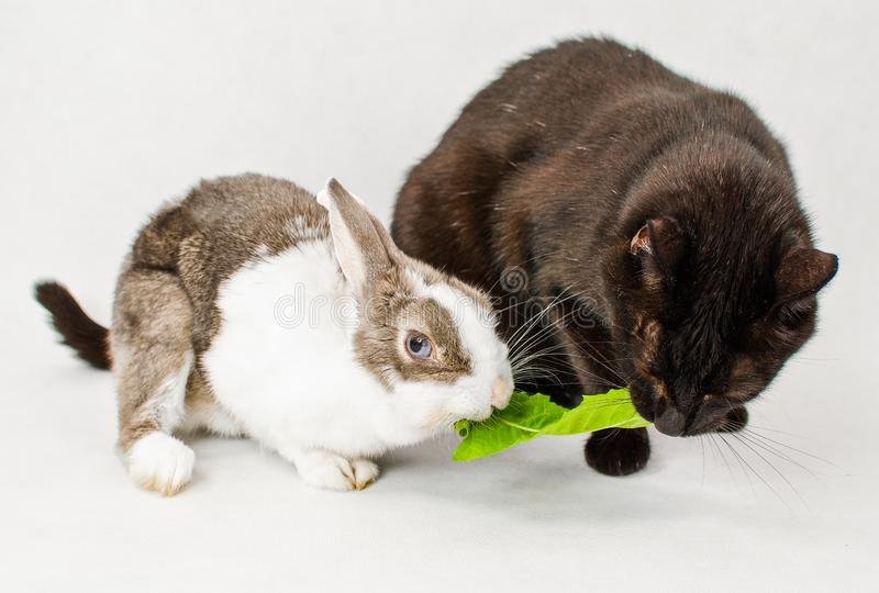 Dwarf rabbit with black cat sharing and eating one juicy dandelion leaf on white background.  royalty free stock images