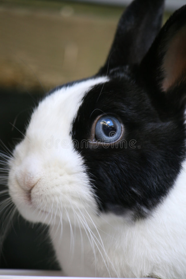 Dwarf Rabbit close-up. Close-up of a black and white dwarf Rabbit royalty free stock image