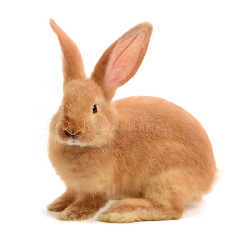 Dwarf rabbit. Isolated on a white background royalty free stock photos
