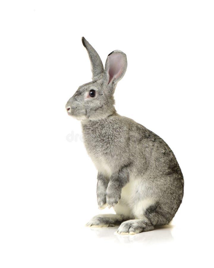 Dwarf rabbit royalty free stock images