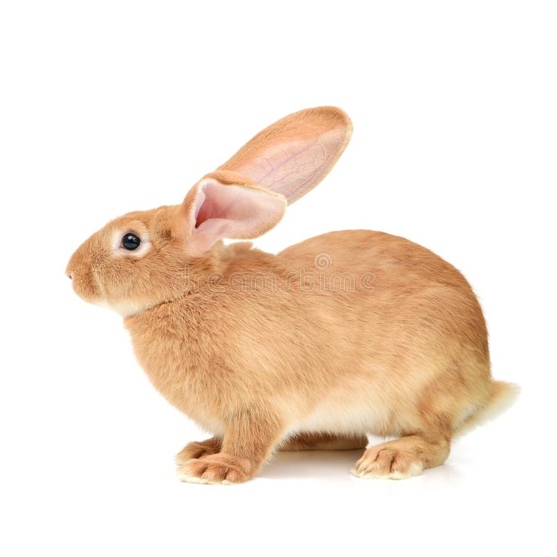 Dwarf rabbit. On white background stock images
