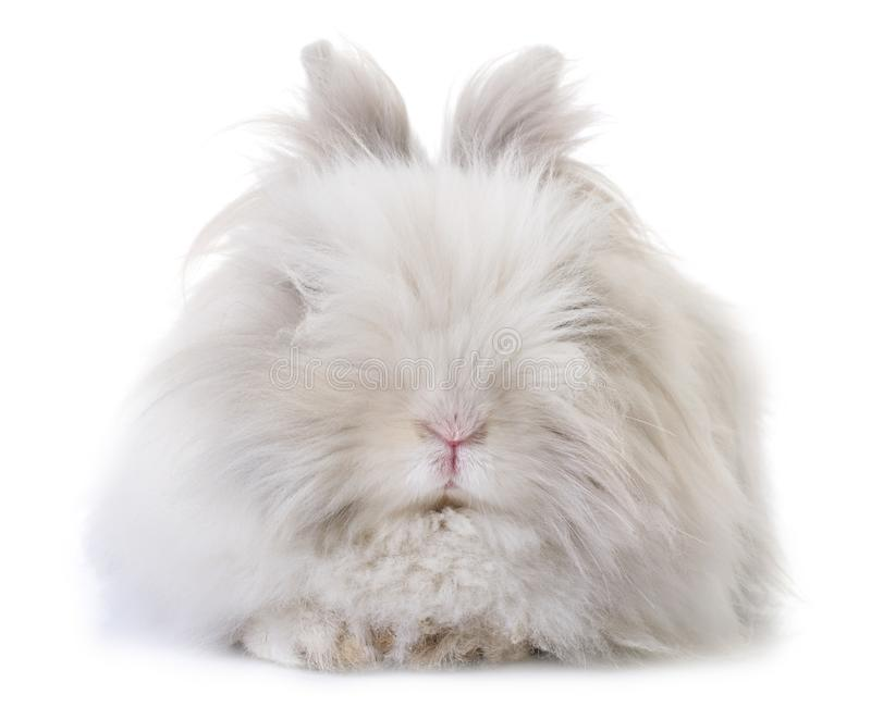 Dwarf rabbit in studio. Dwarf rabbit in front of white background stock images