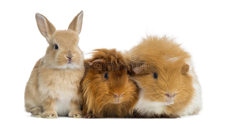 Dwarf rabbit and Guinea Pigs, isolated. On white stock photography