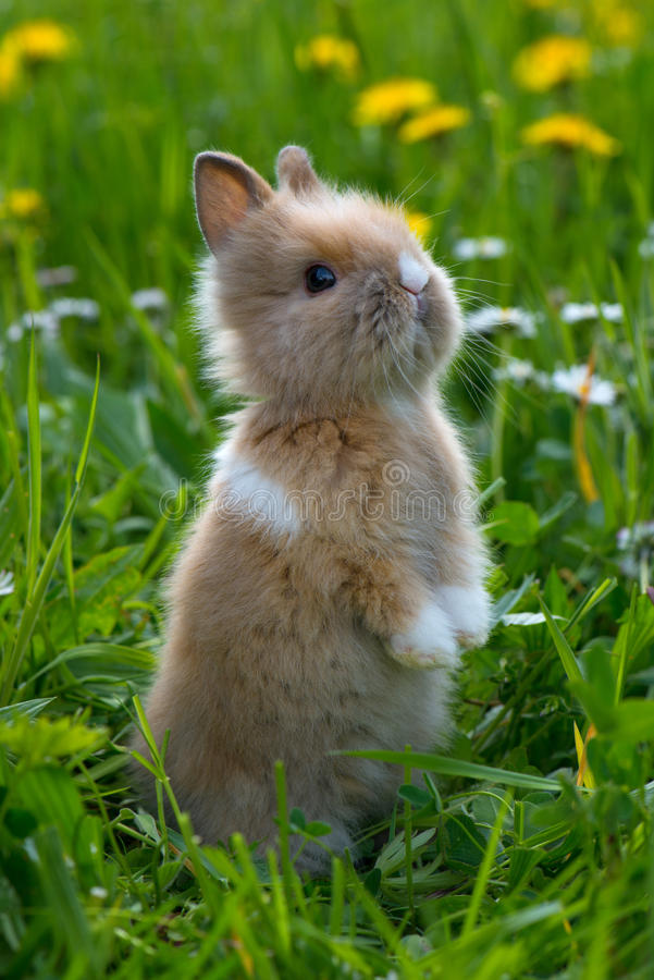Dwarf rabbit. On hind legs stock images