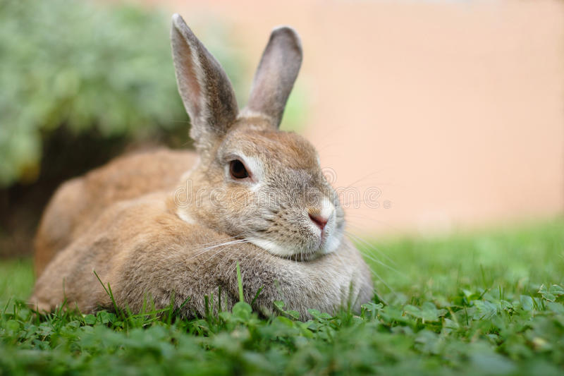 Dwarf rabbit. Laying on grass. A Doe of a  of mixed colors reddish, black, brown and grey spots on a fur. The background is very well blured. Oryctolagus stock photo