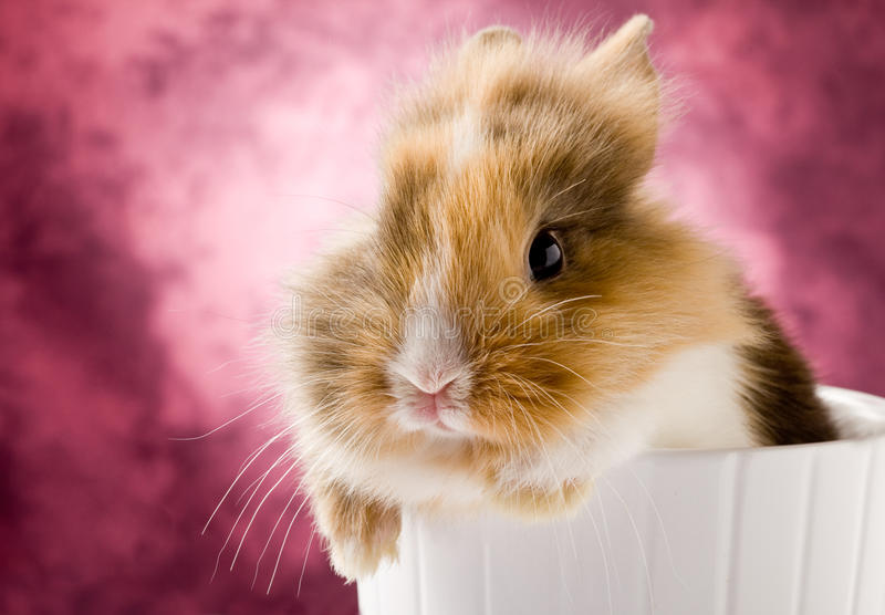 Dwarf Rabbit with Lion's head. Photo of adorable dwarf rabbit with lion's head on white isolated background stock photo