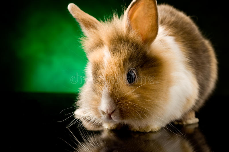 Dwarf Rabbit with Lion's head. Photo of adorable dwarf rabbit with lion's head on black glass table stock photo