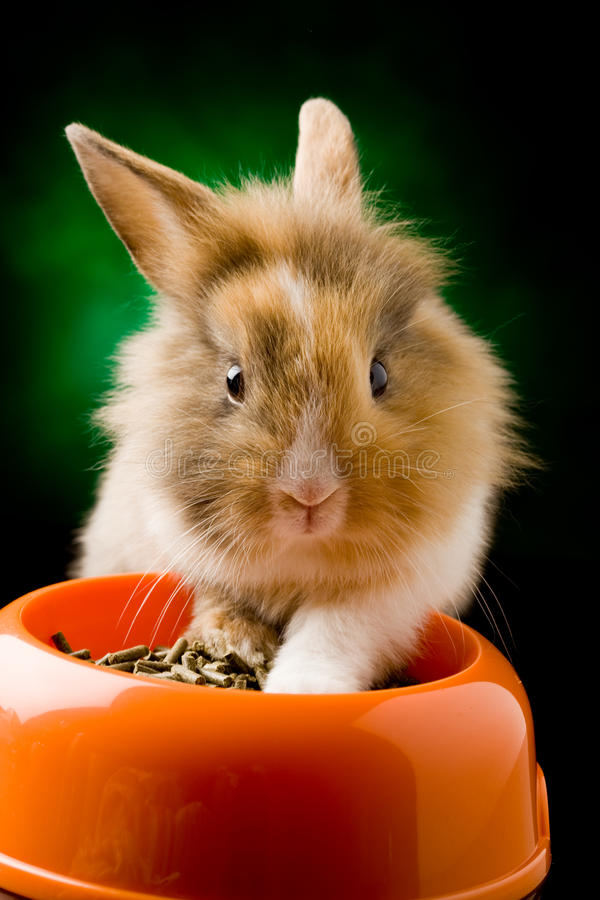 Dwarf Rabbit with Lion's head with his food bowl. Photo of adorable dwarf rabbit with lion's head with his food bowl stock image