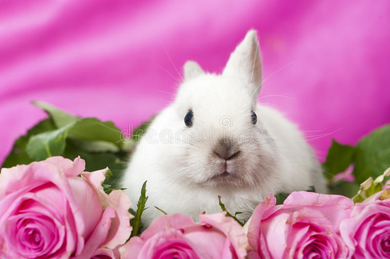 Dwarf rabbit. With pink roses royalty free stock photo