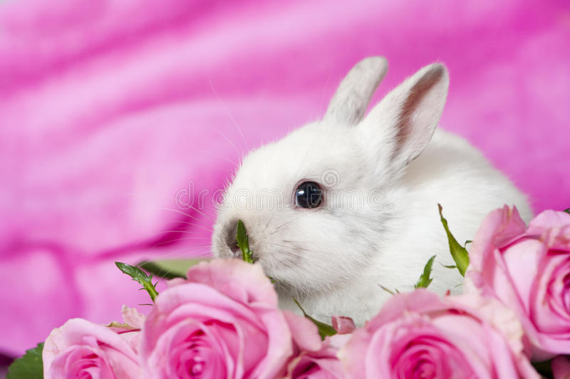 Dwarf rabbit. With pink roses and pink background stock images