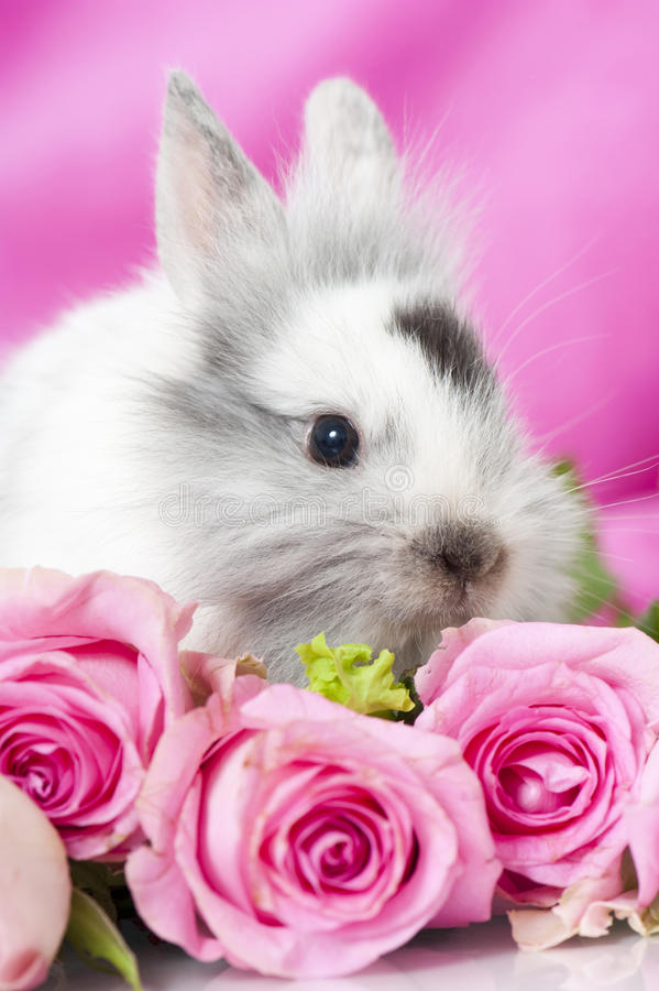Dwarf rabbit. With pink roses and pink background royalty free stock photo