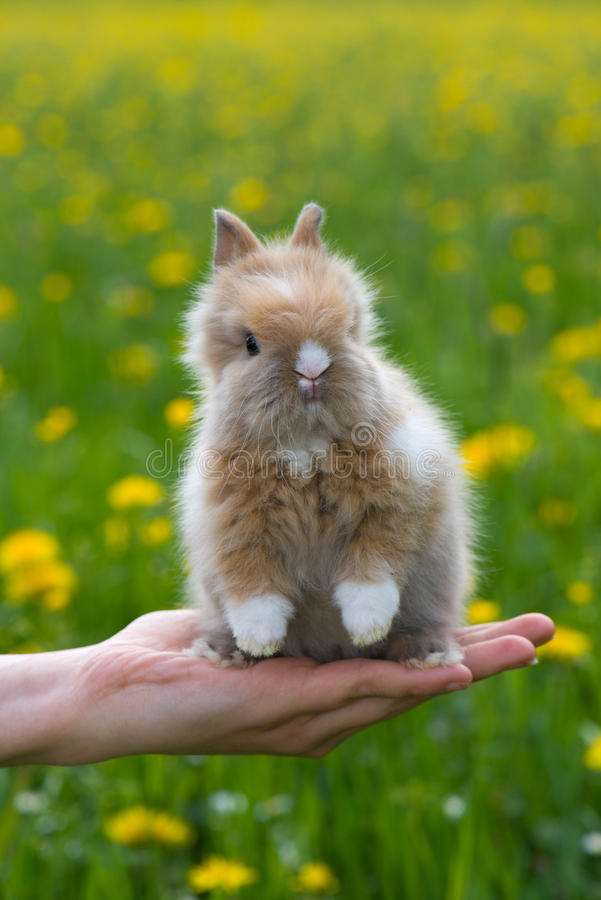 Dwarf rabbit. Sitting on a human hand stock photo