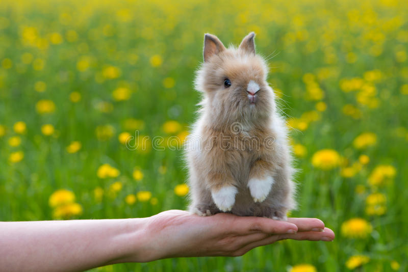 Dwarf rabbit. Sitting on a human hand stock image