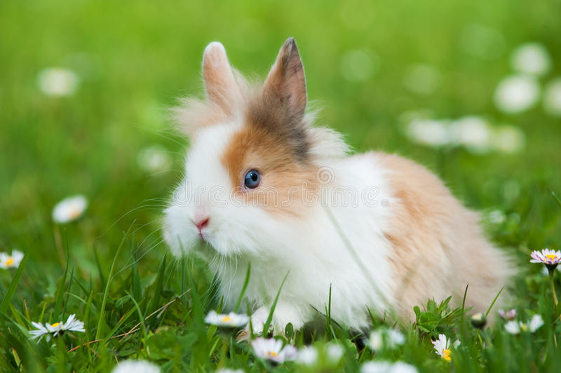 Dwarf rabbit. In a spring meadow royalty free stock photography