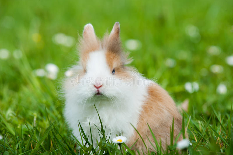 Dwarf rabbit. In a spring meadow royalty free stock image