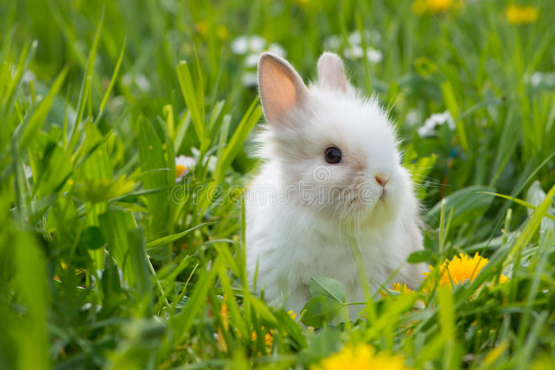 Dwarf rabbit. In a spring meadow royalty free stock images