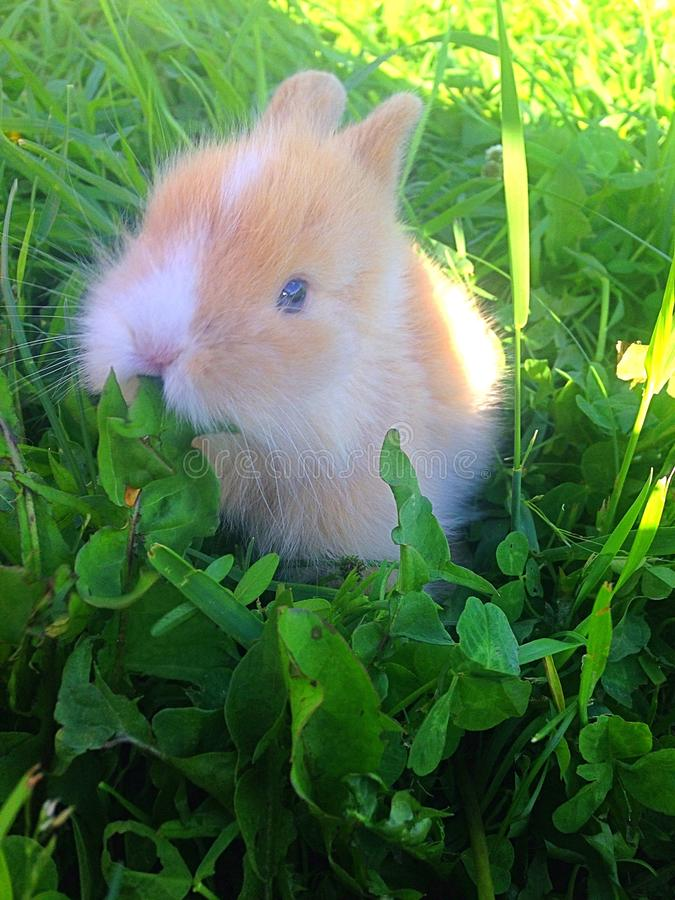 Dwarf rabbit. About 6 week old dwarf rabbit, companion pet, enjoying the fresh spring grass and weeds, active little bunny, fun pet, fluffy brown and royalty free stock image