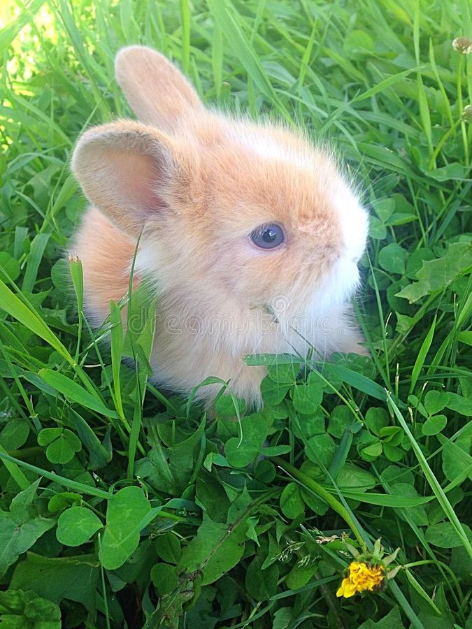 Dwarf rabbit. About 6 week old dwarf rabbit, companion pet, enjoying the fresh spring grass and weeds, active little bunny, fun pet, fluffy brown and stock image