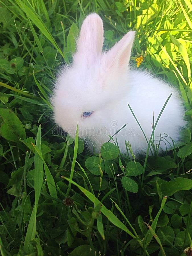 Dwarf rabbit. About 6 week old dwarf rabbit, companion pet, enjoying the fresh spring grass and weeds, active little bunny, fun pet, fluffy brown and stock photos