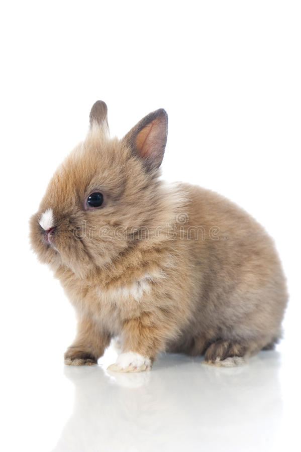 Dwarf rabbit. On white stock photos