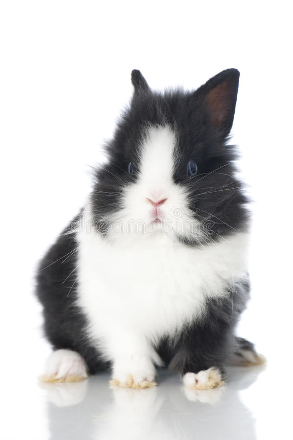 Dwarf rabbit. On white royalty free stock photography