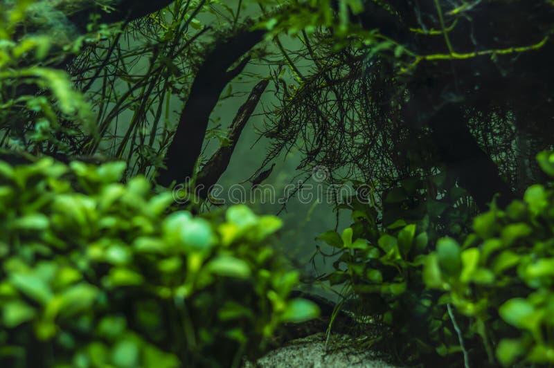 Dwarf shrimps in a mini aquarium royalty free stock photo