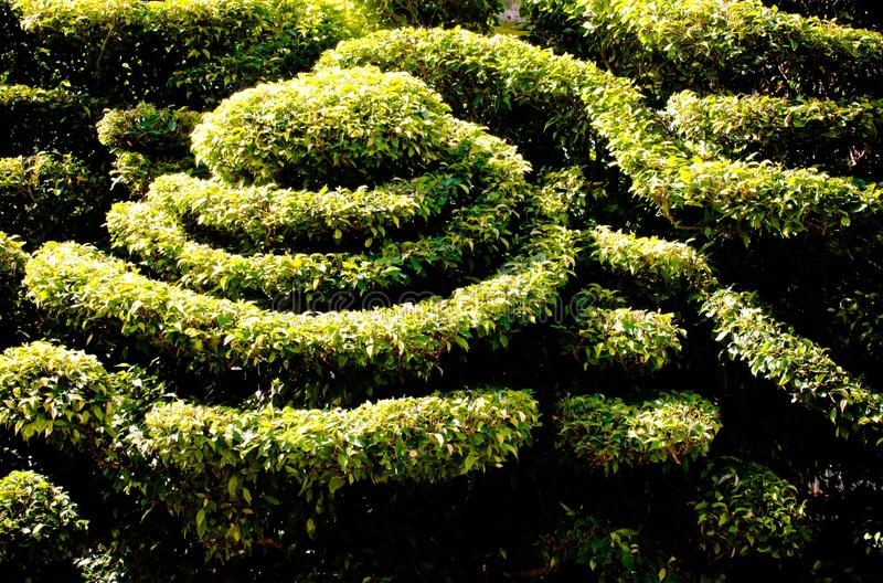Dwarf shrubs, decorative patterns. outdoor in sunlight. Dwarf shrubs, decorative patterns (backgroud, season, dwarf royalty free stock photography