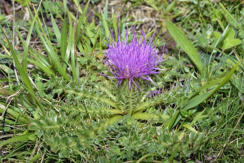 Dwarf Thistle. Cirsium acaule Common grassland Flower royalty free stock photo