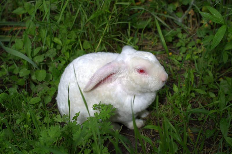 Dwarf White Rabbit - lamb. Resting in the grass after eating royalty free stock images