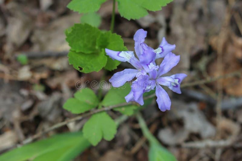 Dwarf Wild Iris Wildflower stock photography