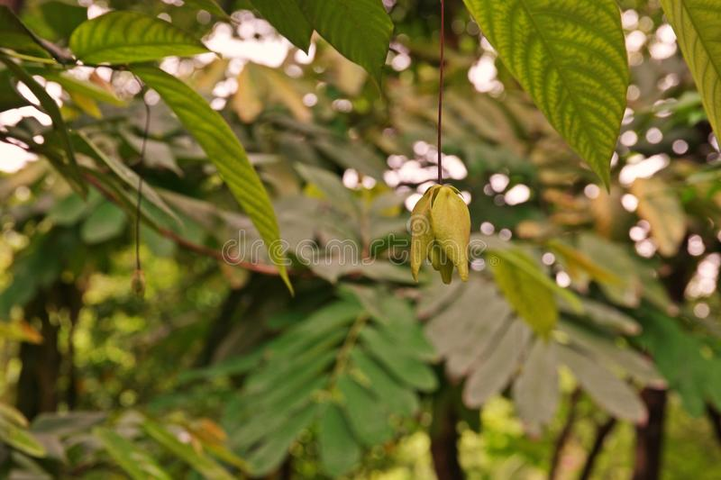 Dwarf ylang ylang shrub, a fragrance flower plant royalty free stock images