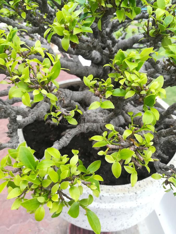 Dwarfed trees bonsai stock images
