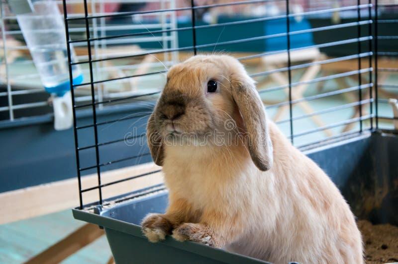 Dwarfish Rabbit Rex Sateen. City of Orenburg, Southern Ural, Russia stock image