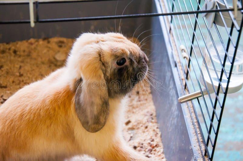 Dwarfish Rabbit Rex Sateen. Dwarfish Rabbit Rex Sateen, city of Orenburg, Southern Ural, Russia royalty free stock photos