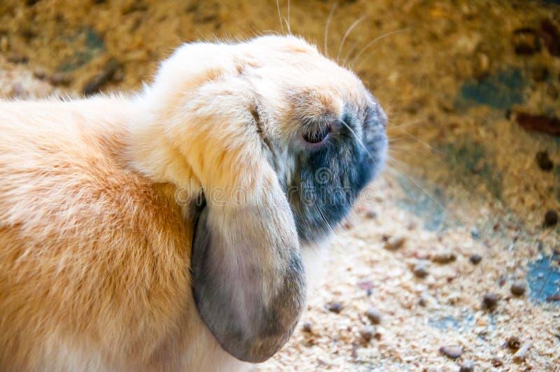 Dwarfish Rabbit Rex Sateen. Dwarfish Rabbit Rex Sateen, city of Orenburg, Southern Ural, Russia stock photography