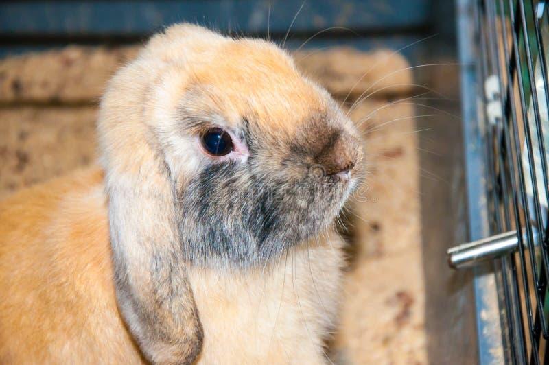 Dwarfish Rabbit Rex Sateen. Dwarfish Rabbit Rex Sateen, city of Orenburg, Southern Ural, Russia royalty free stock photography