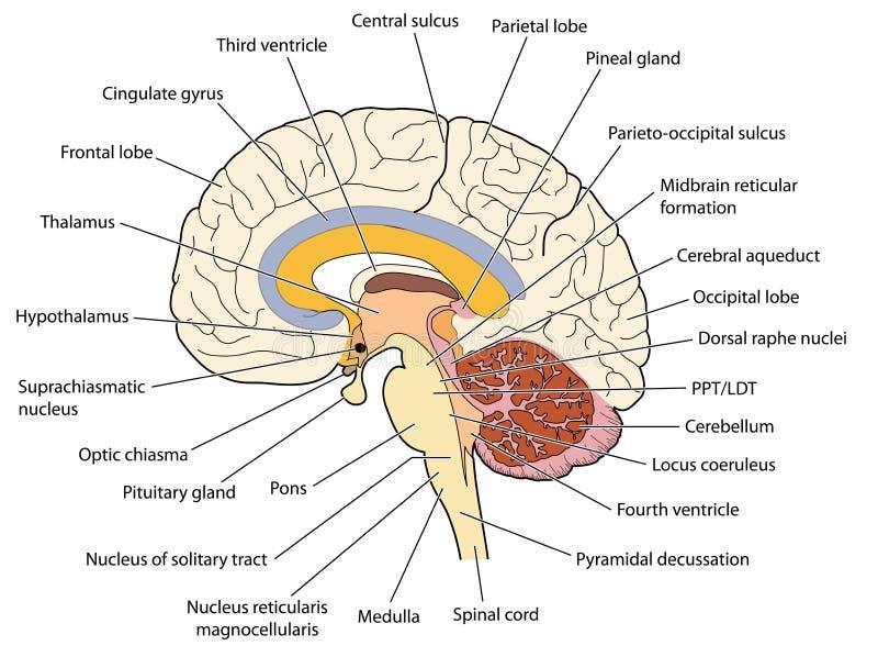 Dwarsdoorsnede door de hersenen royalty-vrije illustratie