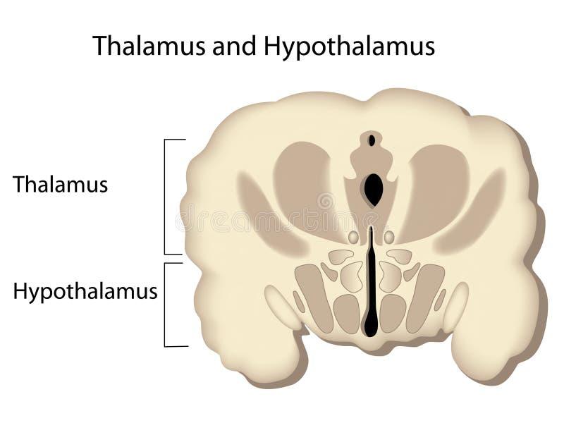 Dwarsdoorsnede van de hersenen stock illustratie