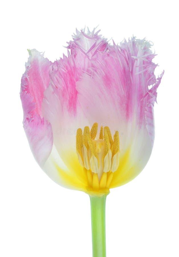 Dwarsdoorsnede van de roze van de de tulpenbloem van de badstoflente geïsoleerde macro hoofd stock fotografie