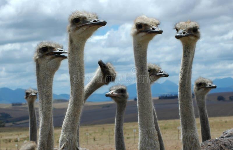 Dwaze Struisvogel stock foto's