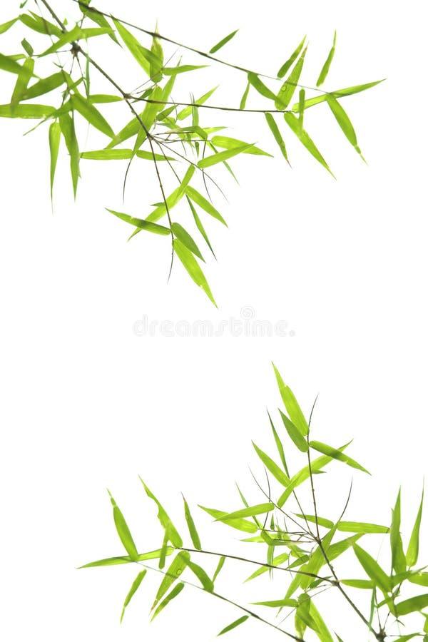 Dwerg bamboebladeren die op wit worden geïsoleerdi stock afbeelding