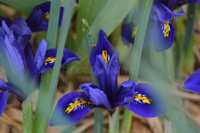 Dwerg Blauwe Iris van de vroege lente stock afbeeldingen