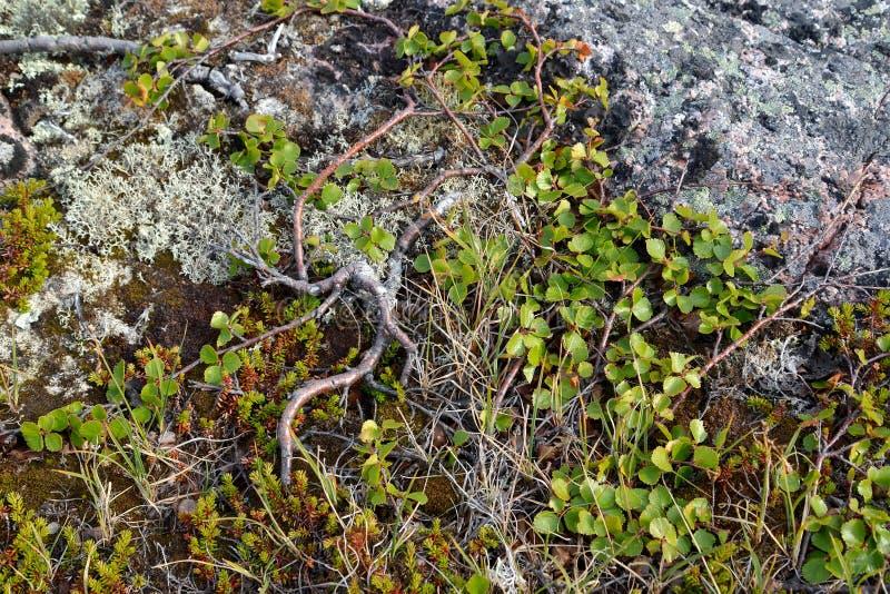 Dwergachtige berk (Witte berk Nana L ) groeit in de toendra Kola Penins stock fotografie
