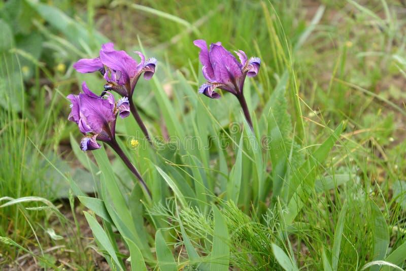 Dwergachtige wild-kweekt pumila L van de irisseniris in de de lentesteppe Kalmukkië royalty-vrije stock afbeeldingen