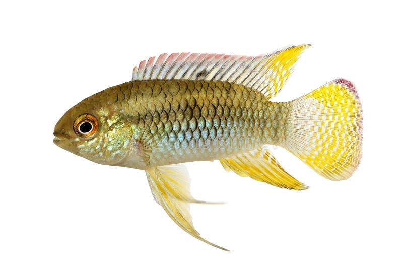 Dwergcichlid-het Aquariumvissen Laetacara van Vlagacara curviceps stock foto