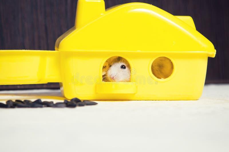 Dwerghamster in een plastic huis stock foto