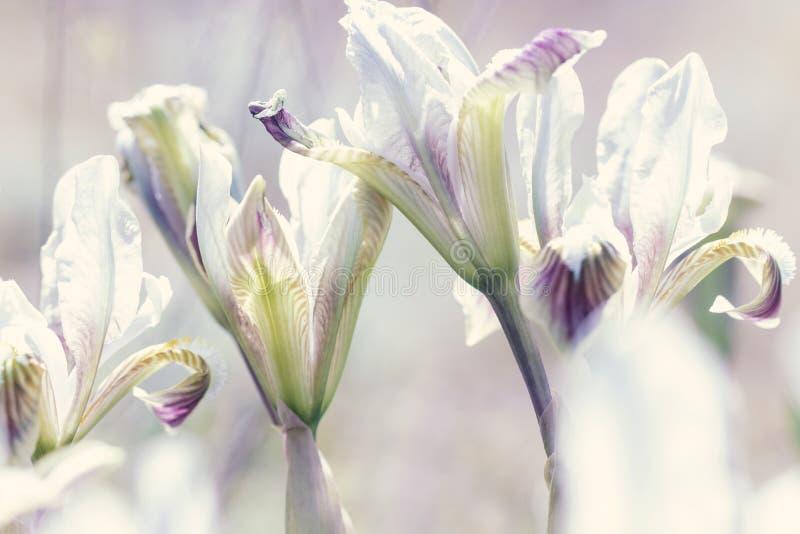 Dwergiris iris-pumila in kustheuvels stock afbeeldingen