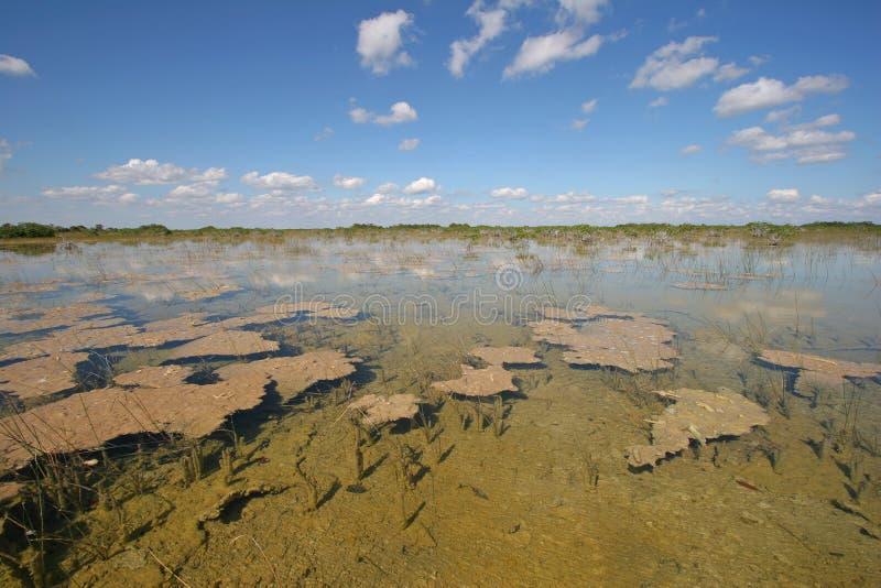 Dwergmangrovebomen van het Nationale Park van Everglades, Florida royalty-vrije stock fotografie